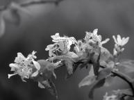 My Fair Flower (black and white)